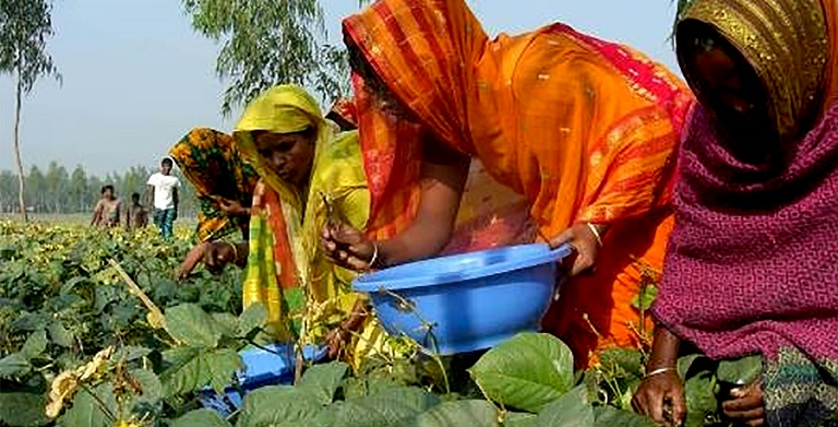 A project in Bangladesh helped farmers move from subsistence farming to growing export-quality mung beans. Photo credit: euglena Co., Ltd.