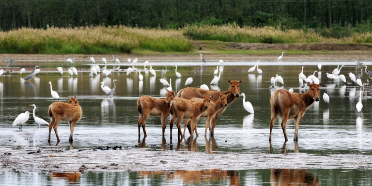 The Yancheng coastal wetlands are home to milu deer, egrets, and other wildlife. Photo credit: Yang Guomei.