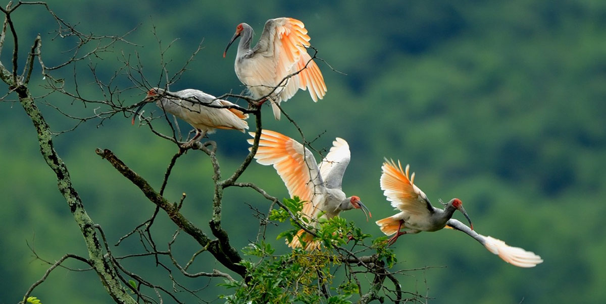 The number of wild crested ibis in the Qinling Mountains increased by 52% in 2019 from 2010 because of improved ecosystem management. Photo credit: Shaanxi Rare Animal Rescue Center.