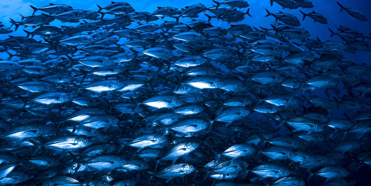 A school of Trevallies in Tubbataha Reefs Natural Park in Palawan province in the Philippines. Photo courtesy of Francesco Ricciardi.