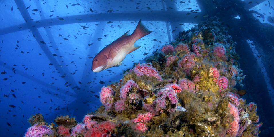 Marine life thrives beneath an active offshore oil platform off the coast of Long Beach in California. Visible are strawberry anemones, a California sheephead and scallops. Photo Credit: Joe Platko