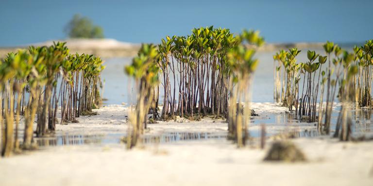 Mangroves grow along the beach of Tarawa in Kiribati. Photo credit: ADB.