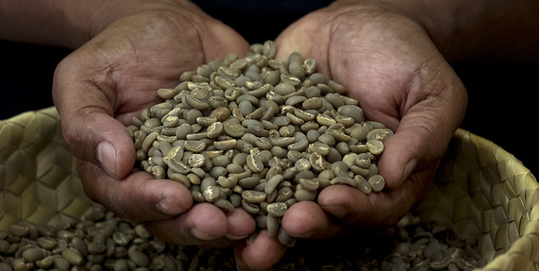 Coffee is Timor-Leste's largest non-oil export, and is grown by more than one-fourth of Timorese households. Photo credit: Luis Enrique Ascui/ADB.
