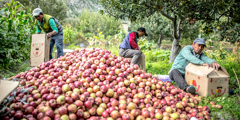 Locals pack locally grown apples in Tukche village. Nepal's federal system is expected to impact agroincome tax in the country. (Photo credit: ADB.)