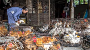 Zoonotic diseases can wipe out entire subsectors of livestock, posing a serious threat to public health. Photo credit. ADB.
