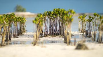 Mangroves grow along the beach of Tarawa in Kiribati. Photo credit: ADB.