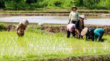 Subsistence rice farming is the most common livelihood in the rural communities covered by a climate risk financing study in the Greater Mekong Subregion. Photo credit: ADB.