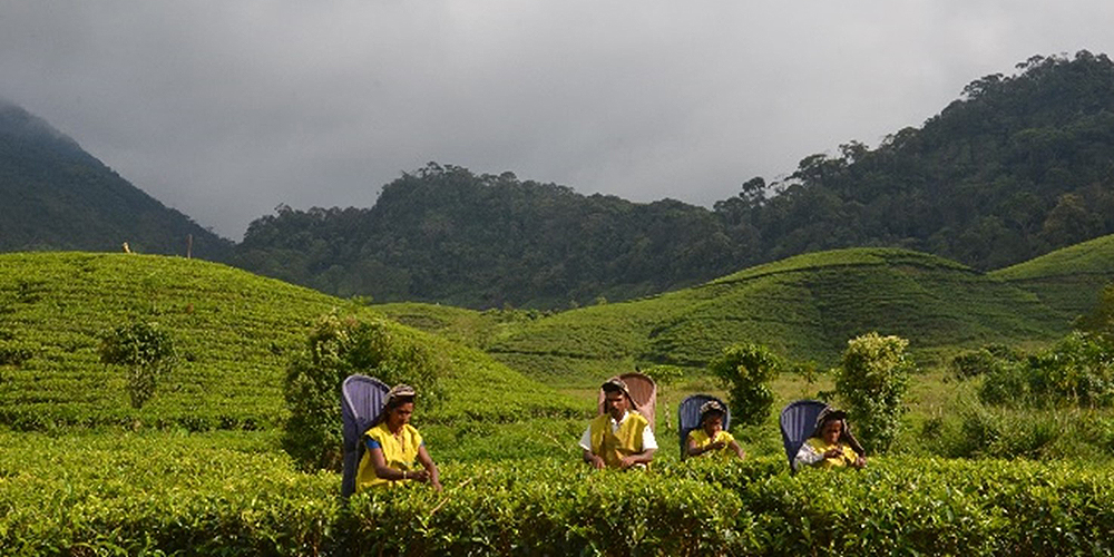 A range of complex domestic and global issues have affected the quality and quantity of tea produced in Sri Lanka. Photo credit: Institute of Policy Studies Sri Lanka.